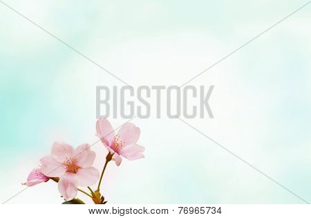 Cherry blossom or cherry flower with soft pastel blue background