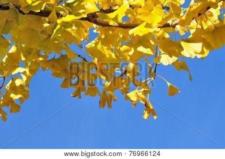 Yellow Ginkgo Foliage