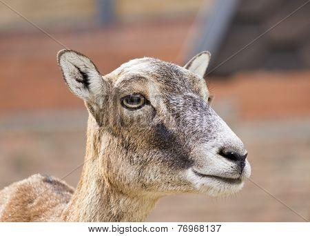 Moufflon (Ovis musimon)-female