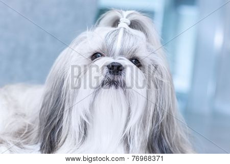 Shih tzu dog in home interior.