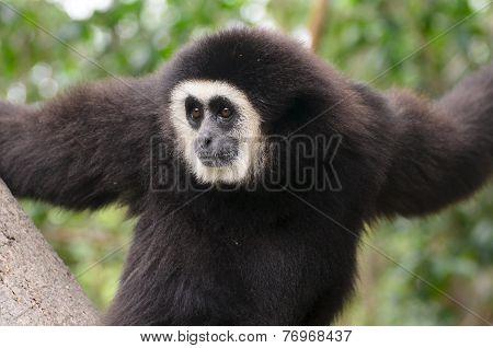 Silver Gibbon Closeup