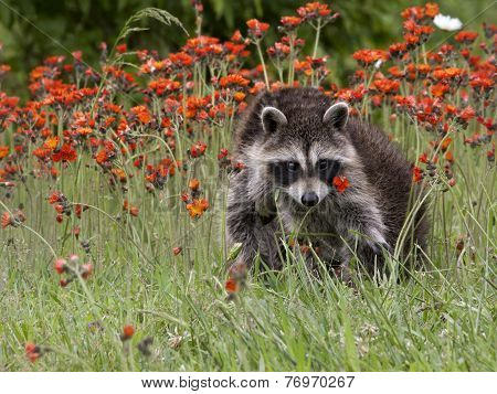 Young Raccoon in Flowers Close up