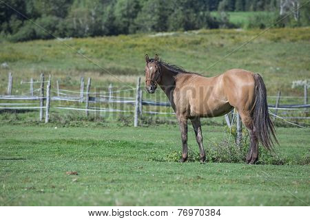 Quarter horse relaxing in the fields