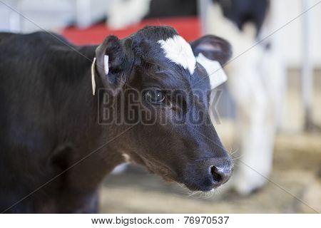 Young Holstein calf in a nursery located on a dairy farm