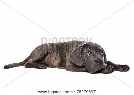 Grey Cane Corso Puppy Dog