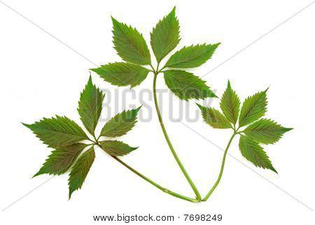 Grapes Leaf