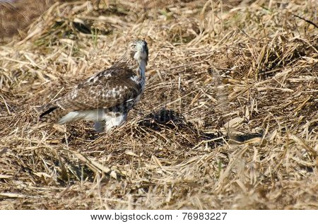 Red-tailed Hawk Resting On The Ground