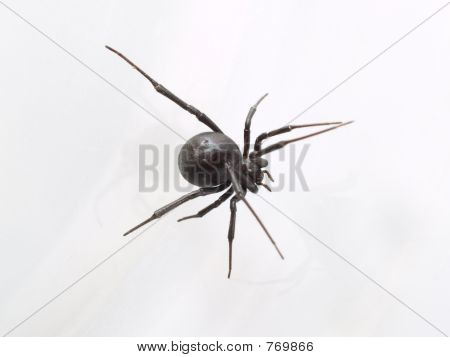 Black Widow Closeup from Top