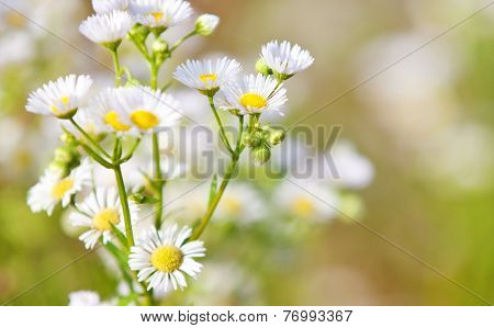 Fine grown german chamomile