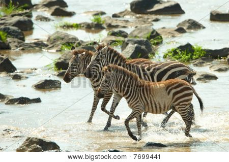 Three Zebras (african Equids)