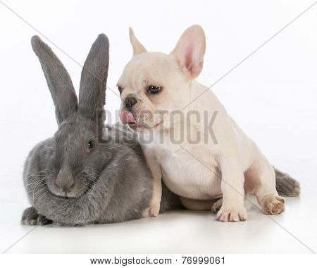 french bulldog puppy licking the ear of a flemish bunny on white background