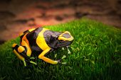 stock photo of poison dart frogs  - yellow banded poison dart frog dendrobates leucomelas a poisonous animal from the tropical Amazon rain forest of Venezuela - JPG