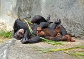 Mother and baby love chimps poster