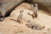 stock photo of meerkats  - Meerkats  - JPG