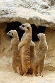 picture of meerkats  - Meerkats  - JPG
