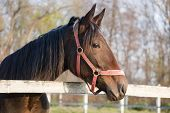 foto of hackney  - Purebred horse standing in the corral rural autumn scene - JPG