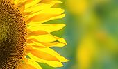 picture of sunflower  - sunflower closeup background - JPG