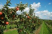 stock photo of apple tree  - garden with apple trees - JPG