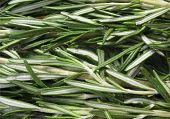 image of camphor  - Rosemary  - JPG