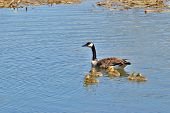 picture of mother goose  - Mother goose swimming with her new babies - JPG
