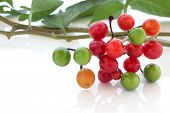 stock photo of belladonna  - Deadly nightshade berries over white background - JPG