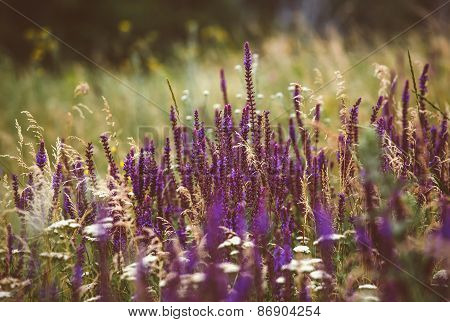 Beautiful Detail Of Scented Lavender Flowers Field In Perfect Radiant Orchid Color Of The 2014. Imag