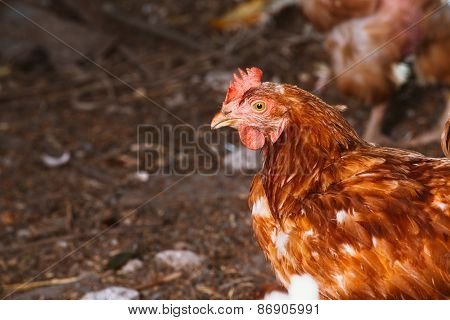 A Young Hen Is Looking To The Camera
