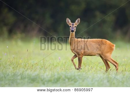 Roe-deer in the wild