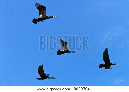 Cormorants (phalacrocorax Carbo)