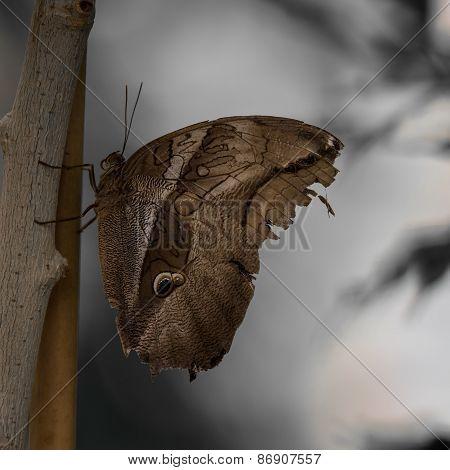 Owl Butterfly.