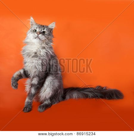 Gray Fluffy Cat Maine Coon Sitting On Orange
