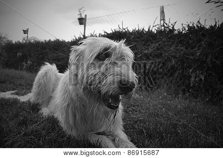 Irish wolfhound lying on the grass in the garden