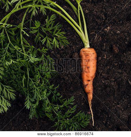 fresh carrot on the soil background