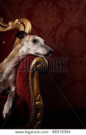 Hound In Royal Interior