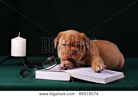 Puppy Of Dogue De Bordeaux French Mastiff