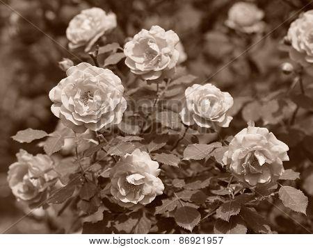 Vintage Roses In Garden