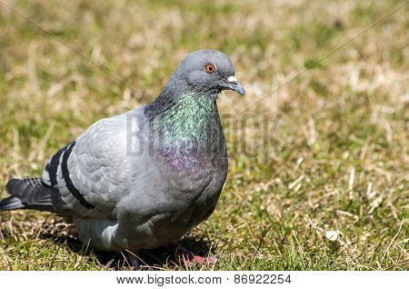Rock feral pigeon dove