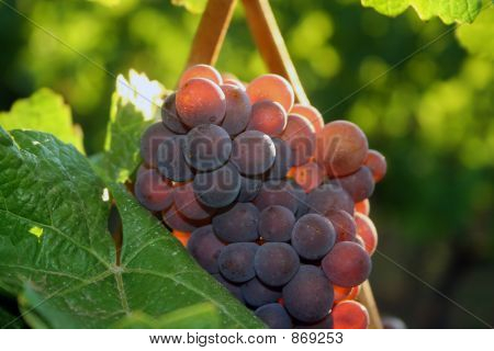 Light Shining Through Grape Cluster