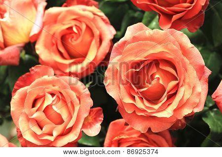 Yellow with orange roses