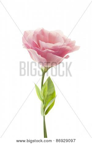 Pure romantic pink rose with fresh leaves isolated on white