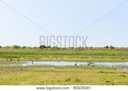 Gooses in nature landscape at Dutch Terschelling