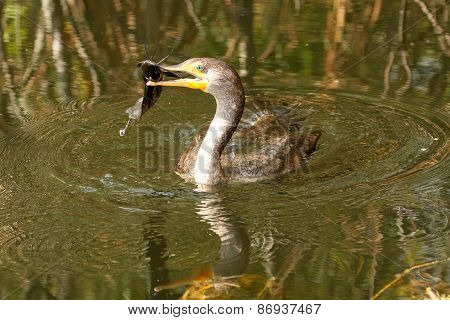 Double-crested Cormorant With A Fish