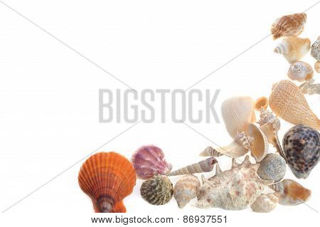 Many Sea Cockleshells Lies On White