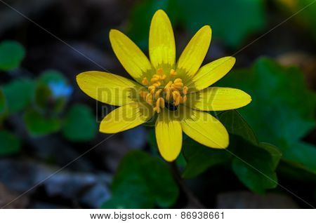 Yellow Flower With A Small Insect Harvesting Pollen In A Forest