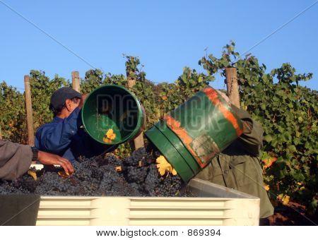 Men Dumping Buckets of Grapes