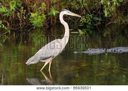 Great Blue Heron And Alligator