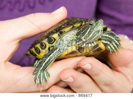 little pet turtle