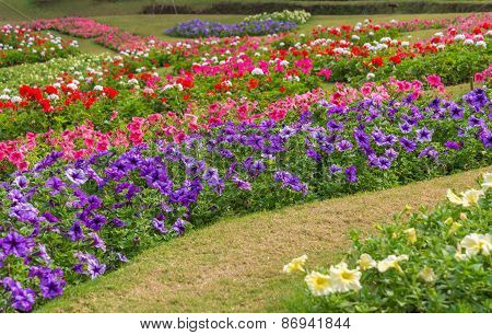 Colorful Of Petunia Flowers In Garden