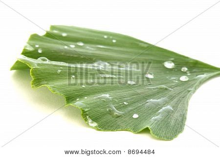 Single Green Fresh Ginkgo Biloba Leaves On White Background