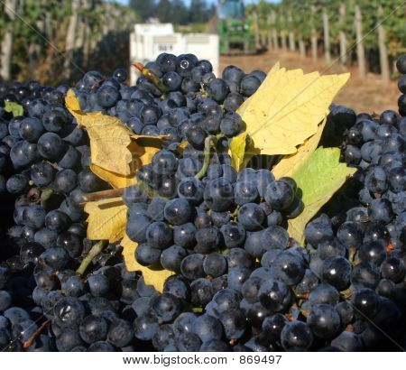 Grapes With Fall Leaves